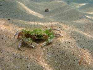 Diving in Black Sea_swimmer crab